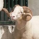 + « Là, c'est le mouton qui passe ! » dans Actu d'Ici moutons2-150x150